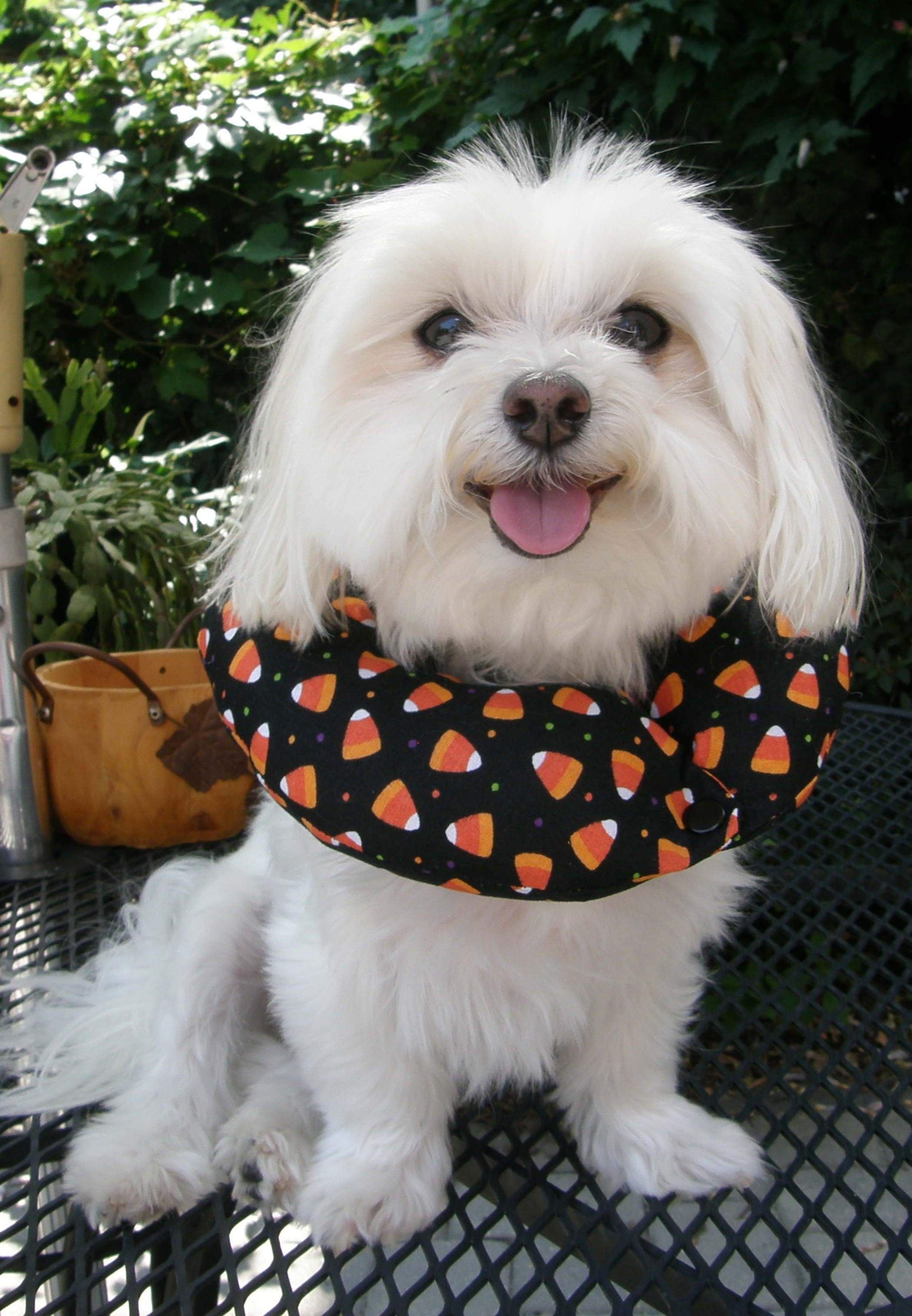 Daisy in Candy Corn
